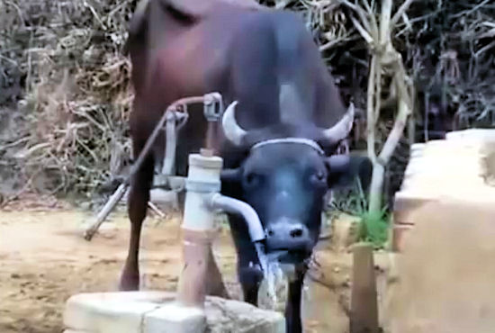 Inteligentna krowa