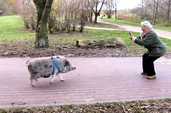 Świnia Marlon w Parku Reagana