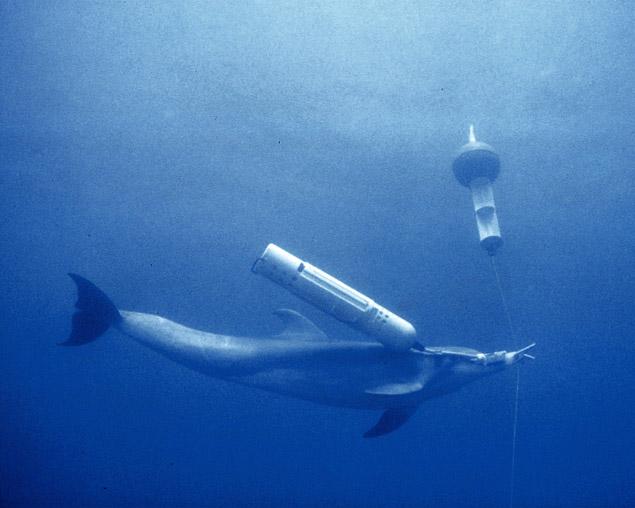 Bojowy delfin z miną i boją sygnalizacyjną.  Foto: Getty Images