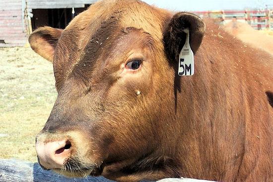 Ukradli byka z pastwiska i ukryli go w lesie